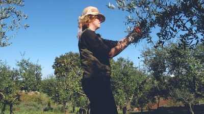 Olive tree harvesting before making her own olive oil.